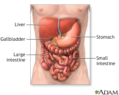 Digestive system organs