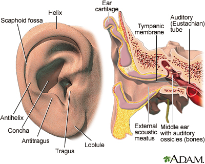 External and internal ear