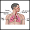 Respiratory system